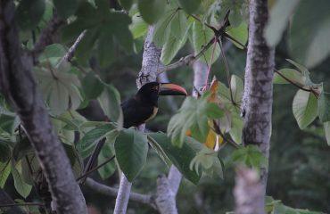 aracari-costa-rica-toucan-jungle