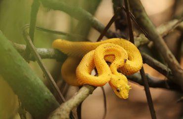 eyelash-pit-viper-venomous-snake-costa-rica-viper