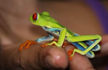frog-costa-rica-bright-vivid