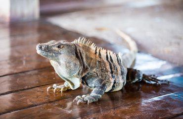 iguana-costa-rica-jungle-reptile
