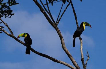 keel-billed-toucan-jungle-costa-rica-forest
